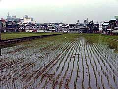 RICE FIELDS ARE EVERYWHERE IN MIAOLI.